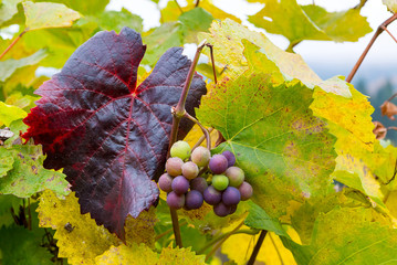 Wine Grapes on Grapevines in Oregon Fall Season United States America