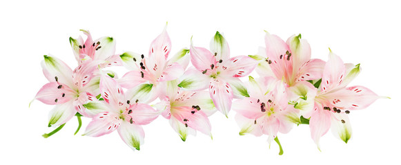 Alstroemeria flowers on white background