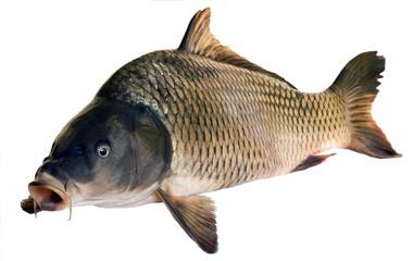 River fish big carp