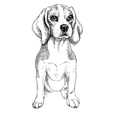 Close-up portrait of sitting Beagle dog. Vector engraved art. Friendly smilling puppy isolated on white background. Pet shelter, flyer, poster, clothing prints. Sketched poster