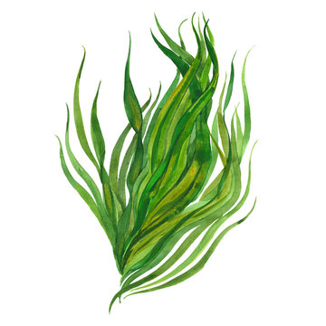 watercolor image of seaweed