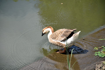 Chinese goose into the pond.