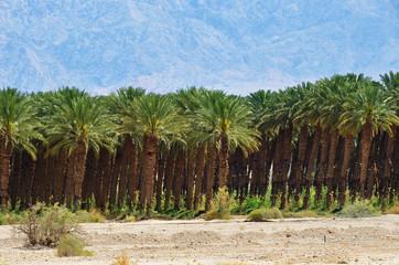 Plantation of palm trees, Israel