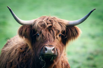 Door stickers Highland Cow Highland Cattle