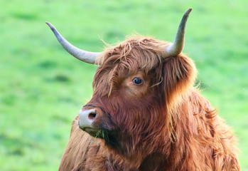 Photo sur Aluminium Vache de Montagne Highland Cattle