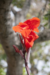 Red canna flower on the sunlight and background brown trunk of tree. canna lily is a tropical American plant with bright flowers and ornamental strap like leaves.