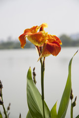 Orange yellow canna flower on the sunlight and background lake, tree and white sky. canna lily is a tropical American plant with bright flowers and ornamental strap like leaves.