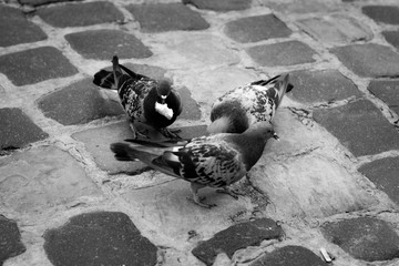 Three pigeons sit on the pavement and eat bread