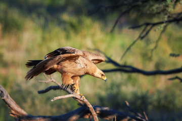 Close up bird of prey, Tawny eagle, Aquila rapax, large raptor with partly outstretched wings landing on branch, against colorful,dry savanna in background. Wildlife photography,Kgalagadi, Botswana.