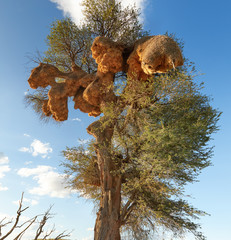 Permanent, large nests of sociable weaver, Philetairus socius,  on big tree against blue sky. View on sociable weaver's famous nest colony, largest bird-created structures in Kgalagadi, South Africa.