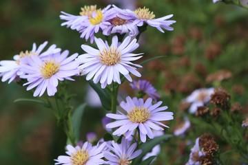 diasy flower in nature