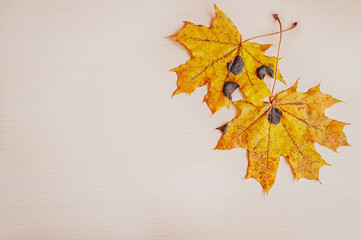 Two yellow autumn maple leaves on a wooden desktop. Nature background.