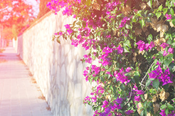 Pink Bougainvillea flower on cityscape background