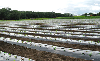 organic agriculture with plastic film protected