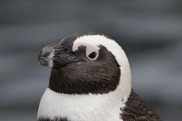 African penguin portraits