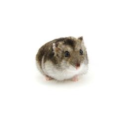 Dwarf hamster on white