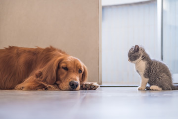 Golden Retriever and British shorthair cat