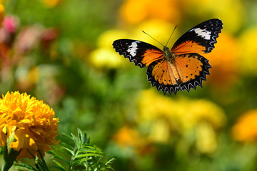 Orange butterfly flying and green background