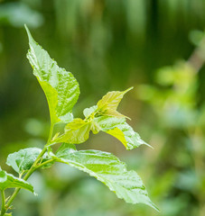 mulberry 's leaf