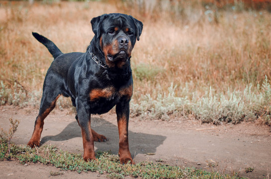 portrait of the big rottweiler dog