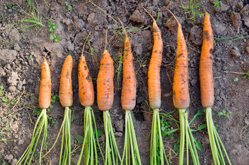 Fresh carrot in the autumn farm