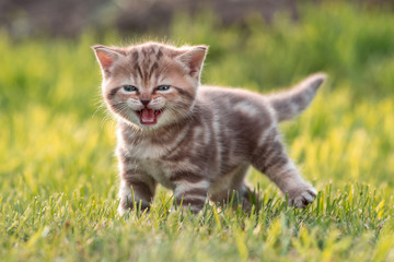 Young cute cat meowing in grass