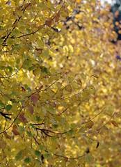 żółte liście na drzewach