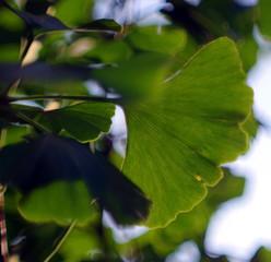liść miłorzębu japońskiego