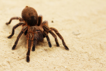 Spider Tarantula Phoby