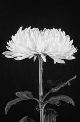 Black and white cremone chrysanthemum flower