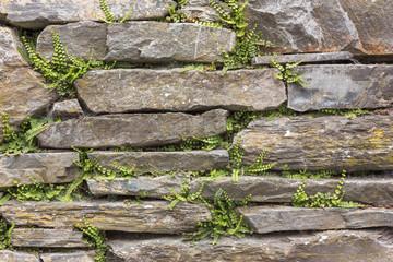 Historische Trockenmauer aus Schiefer  mit Farnen (Braunstieliger Streifenfarn, Asplenium trichomanes) in der Eifel. Hintergrund
