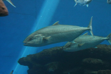 tuna fish swims underwater tunny stock, photo, photograph, picture, image