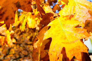 Wall Murals Yellow Close up View of Fall Colorful Leaves