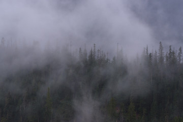 Pine, low cloud, North cascades National Park