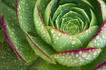 sacred geometry defines the spiral growing pattern of this plant