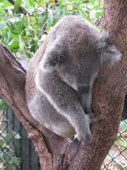 A Koala Sleeping in a Tree