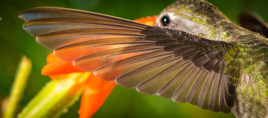 The perfect left wing of a hummingbird