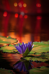 Purple Lotus Flower with Red Background