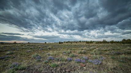 Dramatic sky and lupine wildflowers at sunset