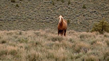 Lone mustang at dawn grazing 1 South Steens HMA Wild Horses Steens Mountain Near Malheur Wildlife Refuge 10