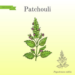 Patchouli Pogostemon cablin , also patchouly or pachouli - aromatic and medicinal plant