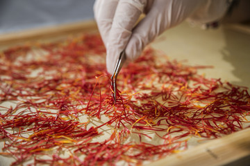 Worker with gloves and pincers preparing saffron for drying on a silk.
