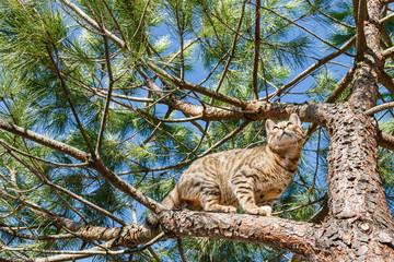 Bengalí. Gato de Bengala en las ramas de un pino.