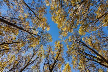 Vista vertical de bosque de chopos en otoño y cielo azul. Populus canadensis.