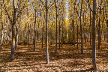 Populus canadensis. Bosque de chopos en otoño.