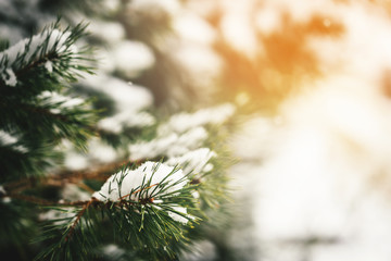 Christmas evergreen fir-tree branches with fresh natural snow. Winter frost background. Toned picture
