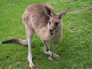 Australian wild kangaroo enjoying its natural habitat