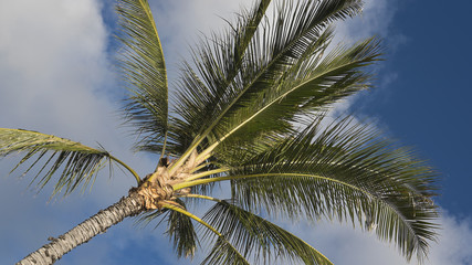 Diagonal view of tall coconut palm tree, against bright blue sky, native to hot climates, symbol of tropics and vacations
