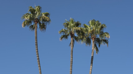 Three cropped exotic palm trees with large evergreen palmate leaves against bright blue sky in Los Angeles, California, USA
