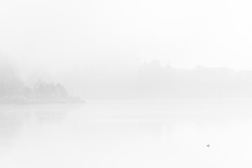 Duck swim over calm lake in dense fog
